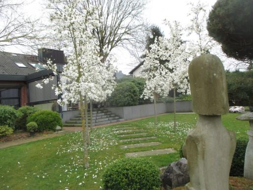 Anemonenblütige Magnolien - Weißer Vorfrühlingstraum