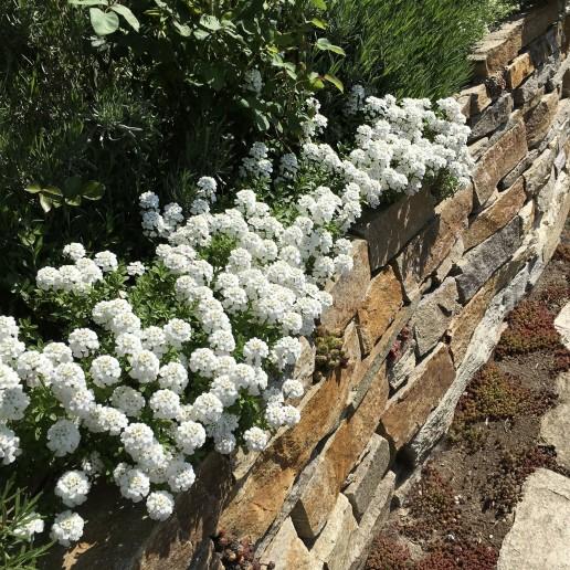 Schleifenblumen auf Bulgarischen Gneis